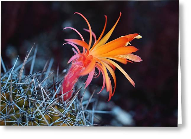 Colorful Cactus Flower Greeting Card by Rona Black