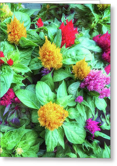 Colorful Celosia Flowers Greeting Card