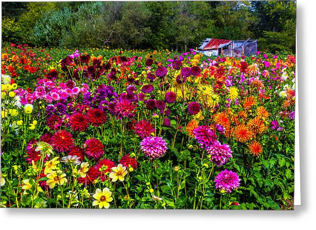 Colorful Dahlias In Garden Greeting Card by Garry Gay