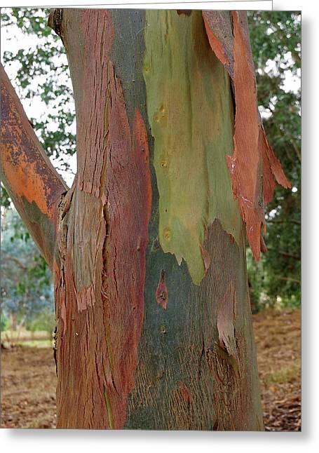 Colorful Eucalyptus Tree Bark 4 Greeting Card by Gill Billington