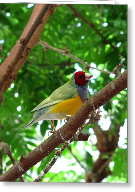 Colorful Finch Greeting Card by George Jones