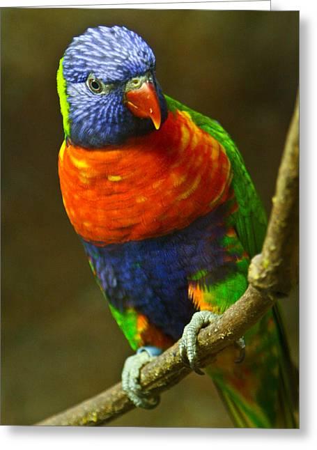 Colorful Lorikeet Greeting Card by Douglas Barnett