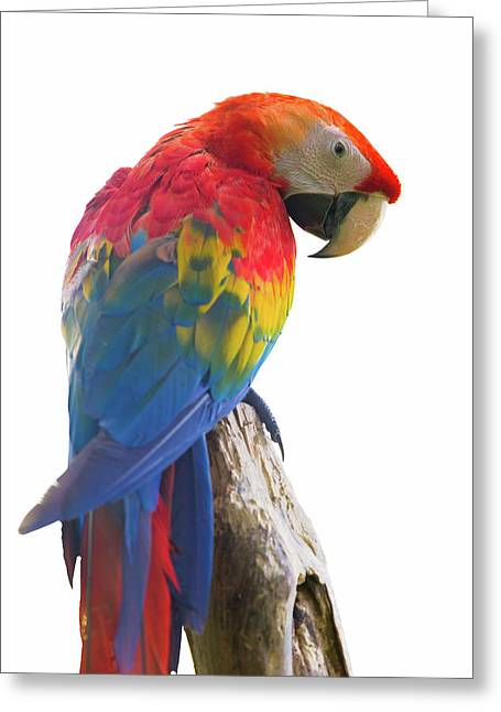 Colorful Parrot Isolated In White Background Greeting Card by Anek Suwannaphoom