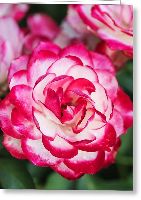 Colorful Pink And White Rose Closeup Greeting Card by Vishwanath Bhat