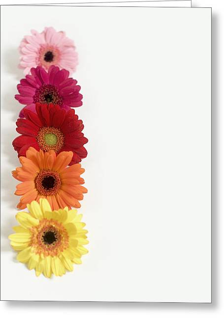 Colorful Row Of Gerbera Daisies Greeting Card