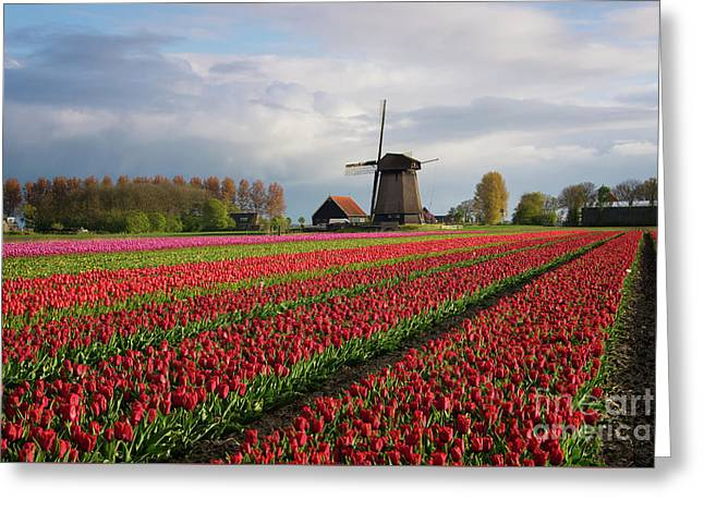 Greeting Card featuring the photograph Colorful Rows Of Tulips In Front Of A Windmill by IPics Photography