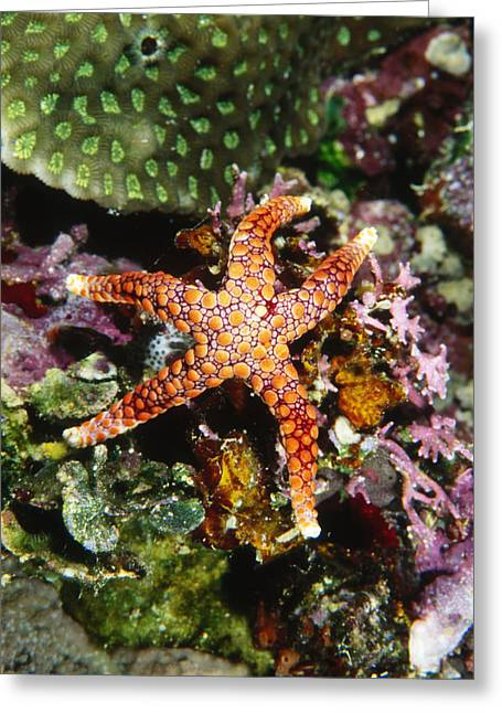 Best Sellers -  - Invertebrates Greeting Cards - Colorful Seastar Laying On Cean Reef Greeting Card by James Forte