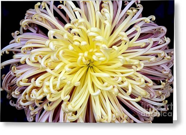 Colorful Spider Chrysanthemum   Greeting Card