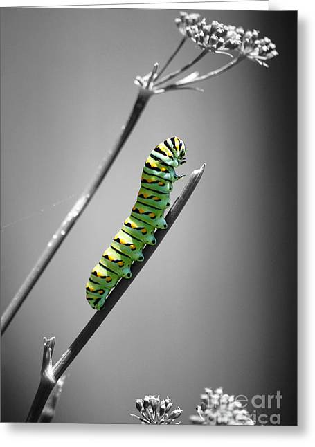 Colorful Striped Caterpillar Closeup Macro Color Splash Black And White Greeting Card by Shawn O'Brien