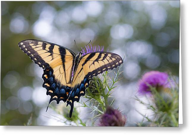 Colorful Tiger Swallowtail Butterfly Greeting Card by Lori Coleman