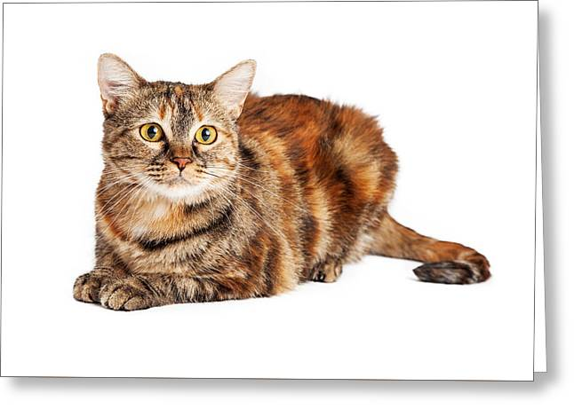 Colorful Tortie Cat Laying Looking Forward Greeting Card
