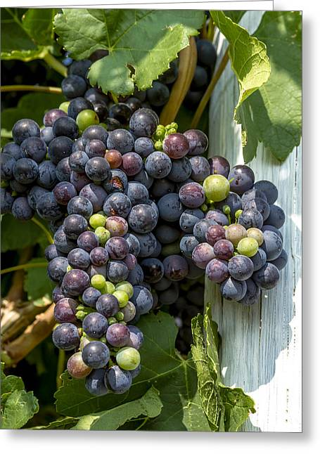 Colorful Wine Grapes On Grapevine Greeting Card