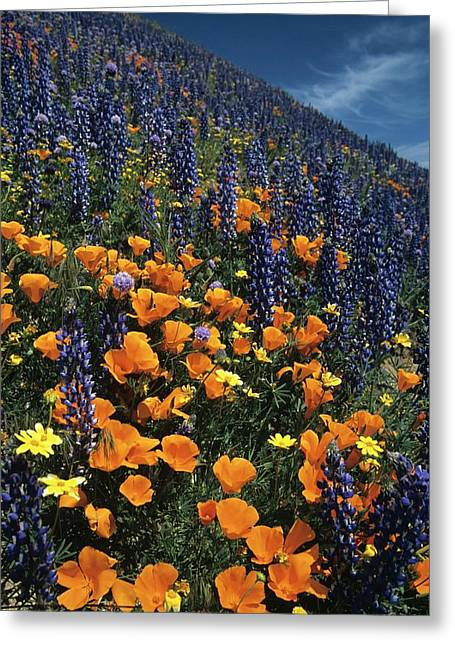 Colossal California Wildflowers Greeting Card