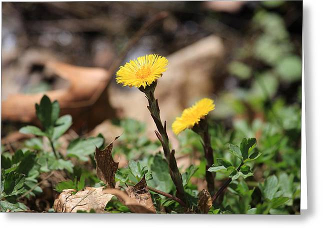 Coltsfoot Greeting Card