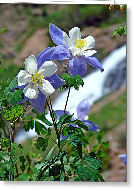 Columbine 3 Greeting Card