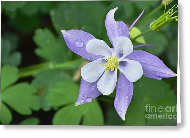 Columbine After A Shower Greeting Card