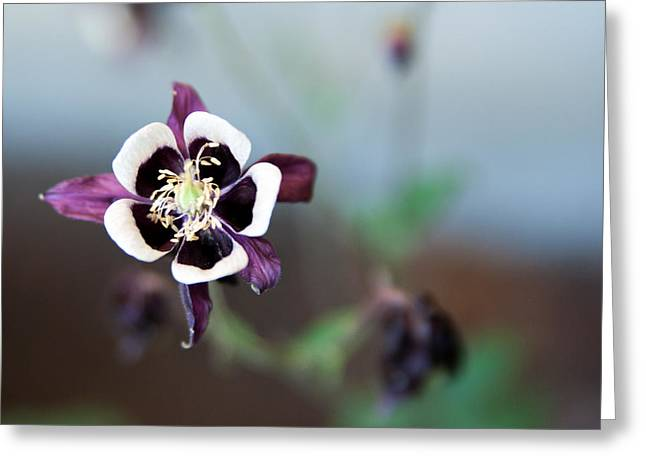 Greeting Card featuring the photograph Columbine by Erin Kohlenberg