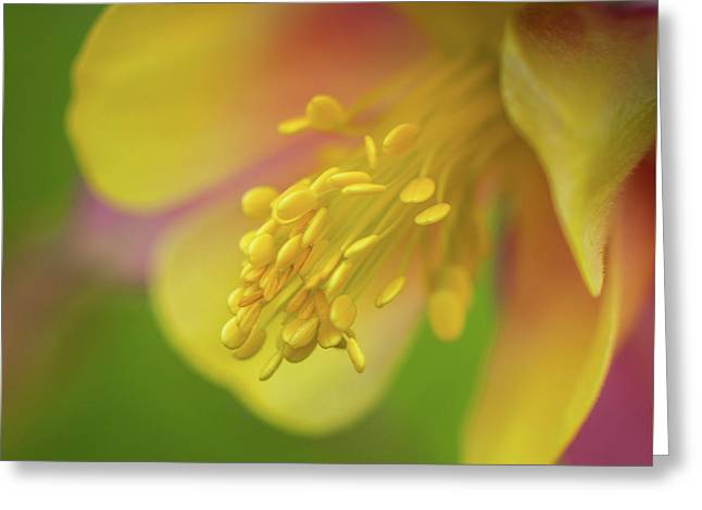 Columbine Greeting Card by Greg Nyquist