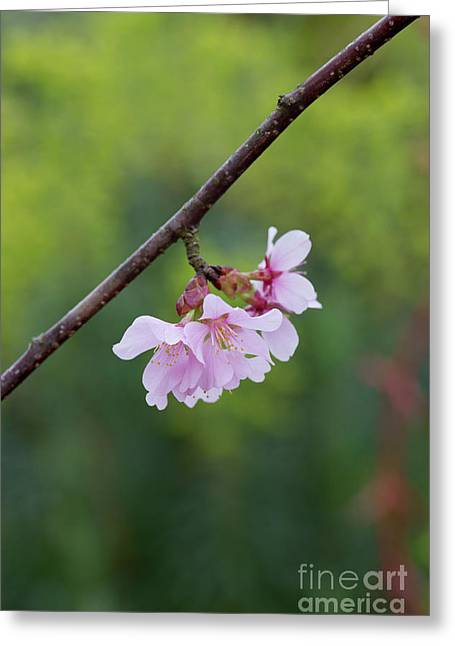 Columnar Sargent Cherry Blossom Greeting Card by Tim Gainey