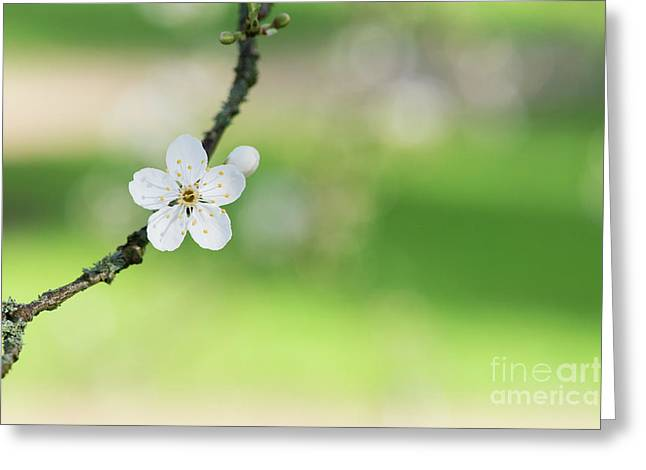 Cherry Plum Blossom Greeting Card by Tim Gainey