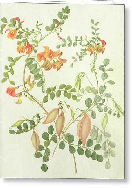 Colutea Arbordscens Media Greeting Card by Matilda Conyers