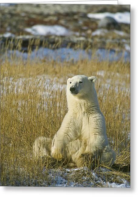 Comfortable Polar Bear Greeting Card