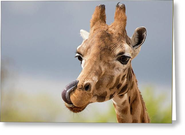 Comical Giraffe With His Tongue Out.  Greeting Card