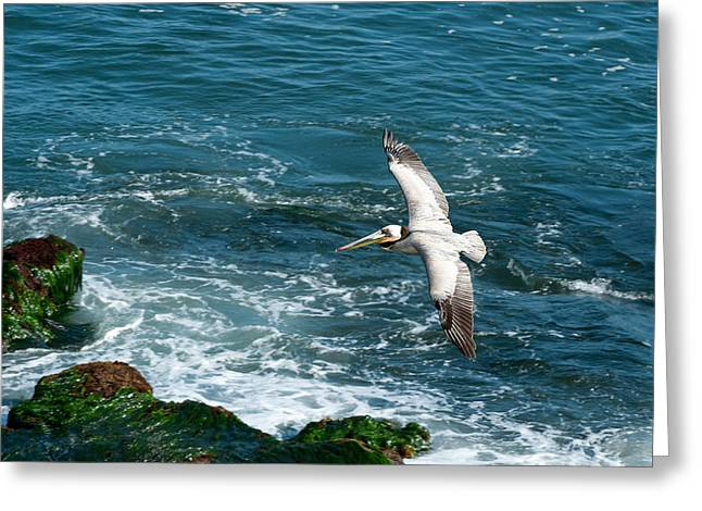 Sea Birds Greeting Cards - Coming In Greeting Card by Sandra Bronstein