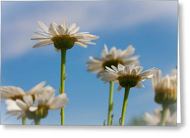 Coming Up Daisies Greeting Card
