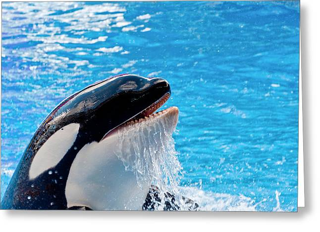 Killer Whale Greeting Cards - Coming Up For Air Greeting Card by Linda Pulvermacher