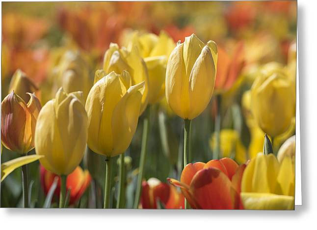 Coming Up Tulips Greeting Card