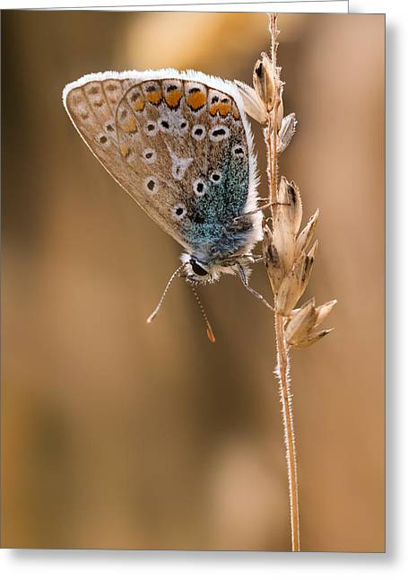 Common Blue Butterfly Greeting Card by Ian Hufton