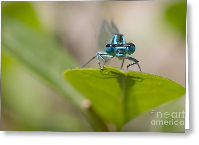Common Blue Damselfly Greeting Card by Jivko Nakev