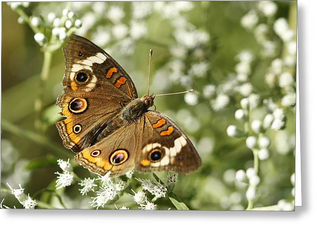 Common Buckeye Butterfly On White Thoroughwort Wildflowers Greeting Card