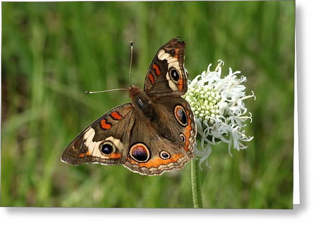 Common Buckeye Butterfly On Wildflower Greeting Card