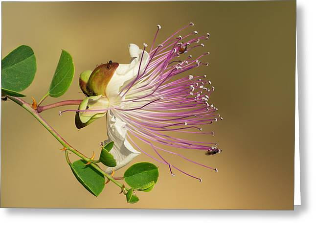 Common Caper Greeting Card by Yuri Peress