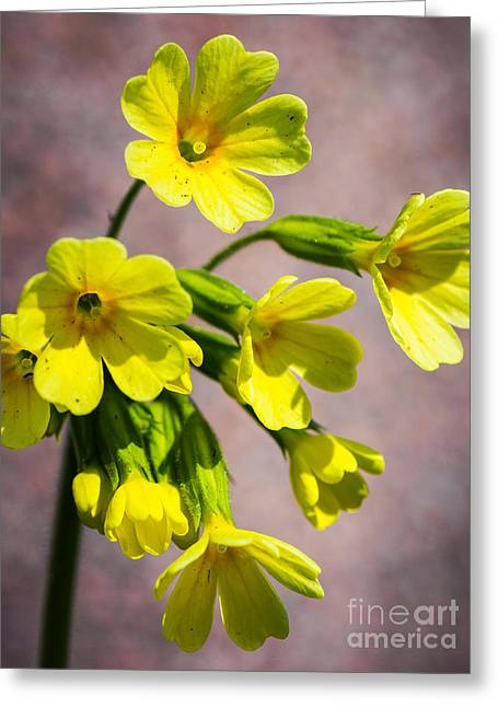 Common Cowslip In The Morning Sunlight Greeting Card
