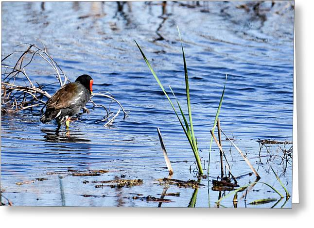 Common Gallinule Greeting Card by Gary Wightman