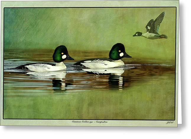 Common Golden-eye Drakes With Flyer Greeting Card by John Williams