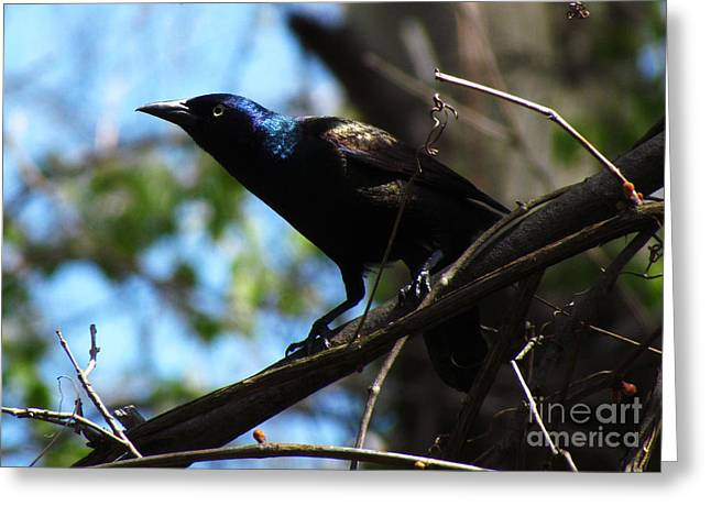 Common Grackle Greeting Card by Deborah Johnson