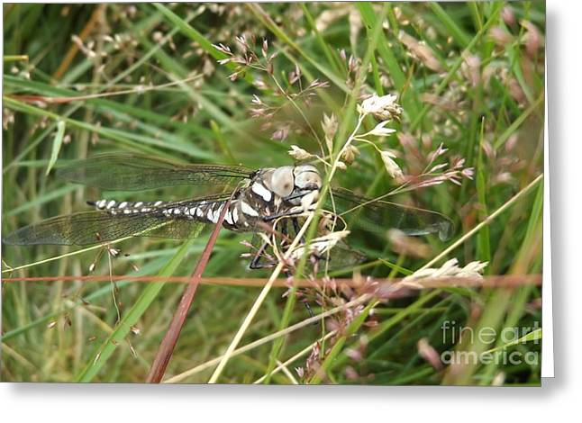 Common Hawker In Hiding Greeting Card