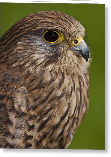 Common Kestrel Falco Tinnunculus Greeting Card