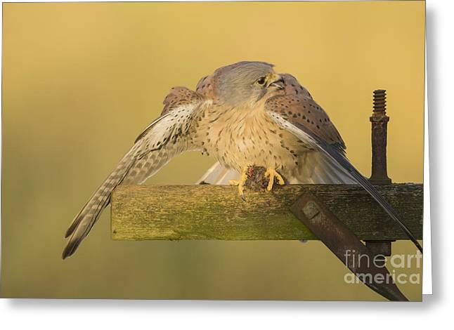 Common Kestrel,male ,mantling Prey Greeting Card by Carl Mckie