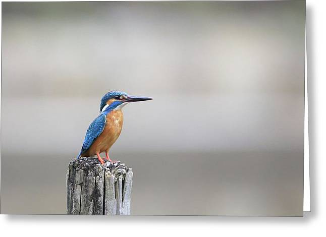 Common Kingfisher 3 Greeting Card