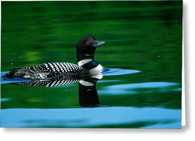 Common Loon In Water, Michigan, Usa Greeting Card