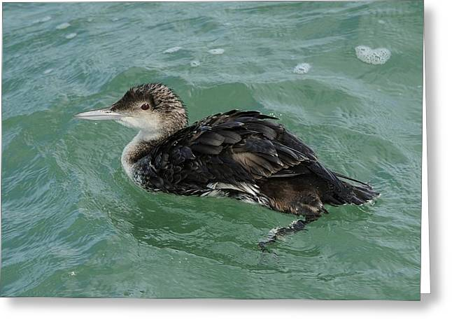 Greeting Card featuring the photograph Common Loon In Winter by Bradford Martin