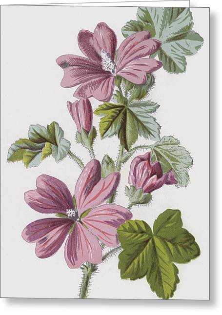 Common Mallow Greeting Card