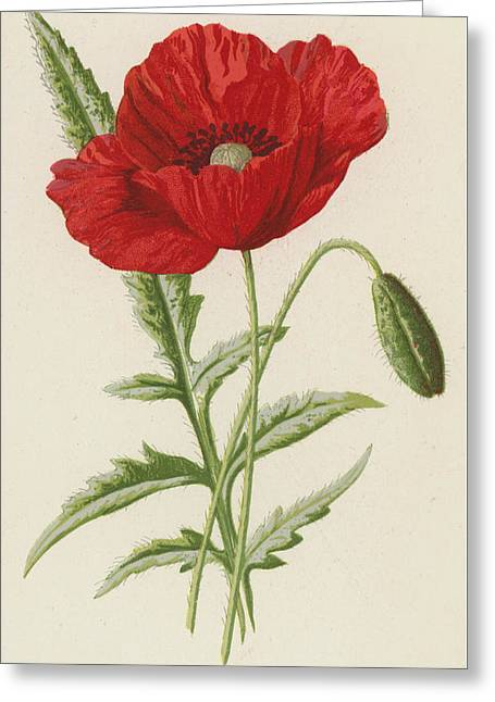 Common Poppy Greeting Card by Frederick Edward Hulme