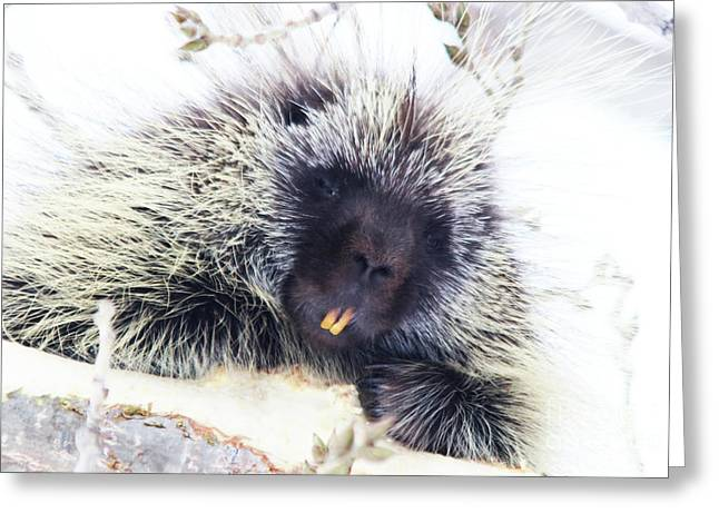 Common Porcupine Greeting Card
