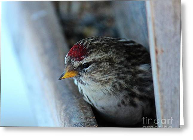 Common Redpoll Greeting Card